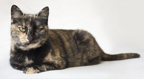 Senior tortoiseshell cat looking at camera and judging. Cat with piercing yellow eyes against white background. Horizontal photo of senior tortoiseshell cat royalty free stock images