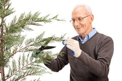 Senior trimming the branches of a coniferous tree Royalty Free Stock Images