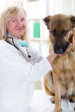 Senior veterinarian hugging and calms the German Shepherd Dog Stock Image