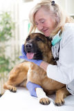 Senior veterinarian hugging German Shepherd in the office Royalty Free Stock Photos