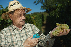 Senior vintner examining grapes Stock Photography