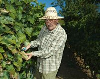 Senior vintner working in vinery. Senior vintner in french straw working in vinery during the vintage Royalty Free Stock Photography