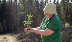 Old volunteer with the young tree in her hands. Senior volunteer looking on the tree in her hands. Save the earth concept stock photos