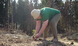 Senior volunteer plants a fir tree. On the forest felling. Save nature concept stock photography
