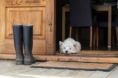 Senior west highland white terrier westie dog lying on mat looking out of open farmhouse door royalty free stock photos