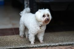Senior white Maltese dog with Tear staining facing waiting for o. Senior white Maltese dog with Tear staining facing standing on the floor and waiting for owner Royalty Free Stock Photography