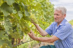 Senior wine grower controls grapes and ripes in his vineyard royalty free stock image