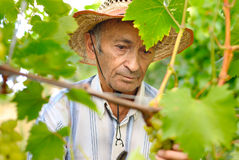 Senior wine maker Stock Photography