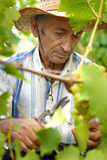 Senior winemaker Stock Images