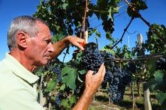 Senior winemaker cuts grape stock photo