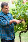 Senior winemaker cuts twigs Royalty Free Stock Photography