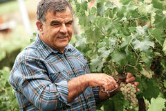 Senior winemaker cuts twigs Stock Photo