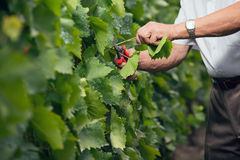 Senior winemaker cuts twigs in vineyard royalty free stock images