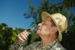 Senior winemaker tasting wine. Outdoors in vinery royalty free stock images