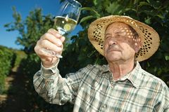 Senior winemaker testing wine. Outdoors in vinery royalty free stock photos
