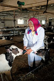 Senior woman caress calf. At cow farm Stock Photos