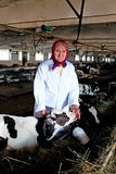 Senior woman caress calf. At cow farm Royalty Free Stock Images