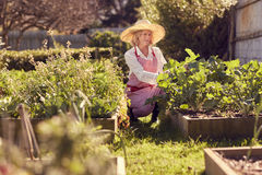 Senior woman checking on her raised vegetable food garden Royalty Free Stock Image