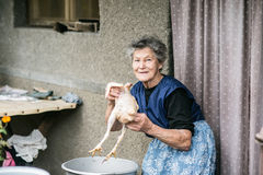 Senior woman cleaning and washing freshly slaughtered chicken. Stock Photography