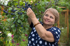 Senior woman collects plums Stock Photos