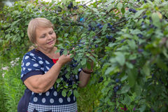Senior woman collects plums Royalty Free Stock Image