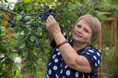Senior woman collects plums Royalty Free Stock Images