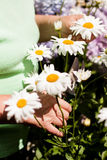 Senior woman cut daisies in the garden Stock Image
