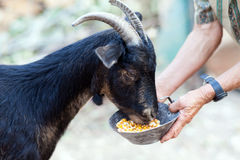 Senior woman feeding goat Royalty Free Stock Photos
