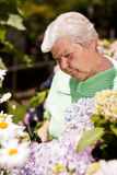 Senior woman with the flower garden shears cut Royalty Free Stock Image