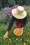 Senior woman gardener   gathering  marigold calendula medical flowers Stock Images