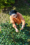 Senior woman gardening in backyard Stock Photos