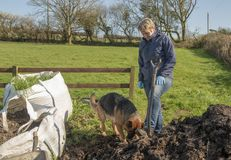 Senior woman gardening with pet Alsatian. Outdoors in spring royalty free stock photos