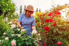 Senior woman gathering flowers in garden. Middle-aged woman hugging pink rose bush. Gardening concept stock image