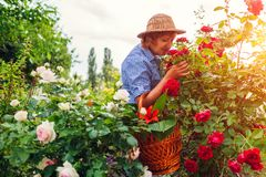 Senior woman gathering flowers in garden. Middle-aged woman smelling roses. Gardening concept royalty free stock image
