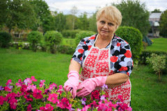 Senior woman in glove and apron gardening colorful flowers Stock Images