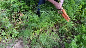 Senior woman grey head garden harvest natural carrots stock footage
