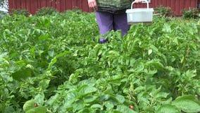 Senior woman hand gather colorado beetles from potato. 4K stock video