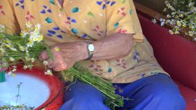 Senior woman hands pick herbal blooms from chamomile flower bunch. 4K stock video