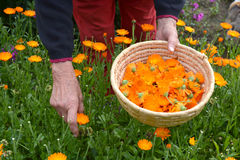 Senior woman hands picking  fresh marigold calendula medical flowers Royalty Free Stock Images