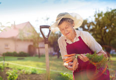 Senior woman harvesting carrots. Senior woman in her garden harvesting carrots Stock Photography