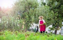 Senior woman harvesting carrots Stock Photos