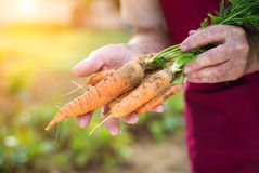 Senior woman harvesting carrots Stock Photos