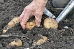 Senior woman harvesting potatoes Stock Photography