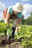 Senior woman harvesting potatoes Stock Photo