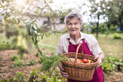 Senior woman in her garden harvesting vegetables. Summer garden. Royalty Free Stock Images