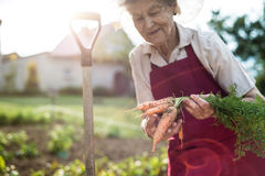 Senior woman in her garden holding carrots. Sunny nature. Stock Photography
