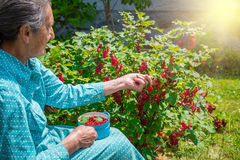 Senior woman in her garden picking homegrown redcurrants Royalty Free Stock Photos