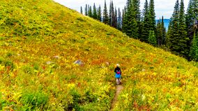 Woman hiking on Tod Mountain near the village of Sun Peaks in BC Canada. Senior Woman hiking through the alpine meadows in fall colors under cloudy sky on Tod royalty free stock photography