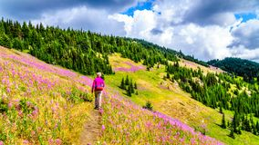 Senior woman on a hiking trail in alpine meadows covered in pink Fireweed flowers. During a hike to Mount Tod, near Sun Peaks village in the Shuswap Highlands Stock Image