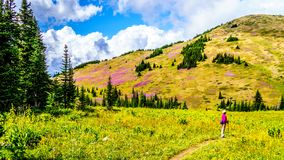 Senior woman on a hiking trail in alpine meadows covered in pink Fireweed flowers. During a hike to Mount Tod, near Sun Peaks village in the Shuswap Highlands Royalty Free Stock Photo